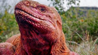 The Pink Iguana of Galapagos