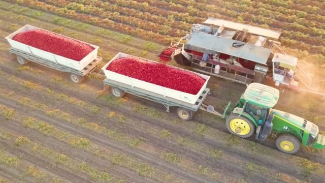 How are tomatoes grown and harvested?