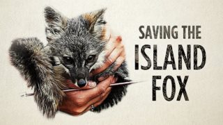 Saving the Island Fox