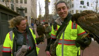 Crow herding with urban falconry in Portland