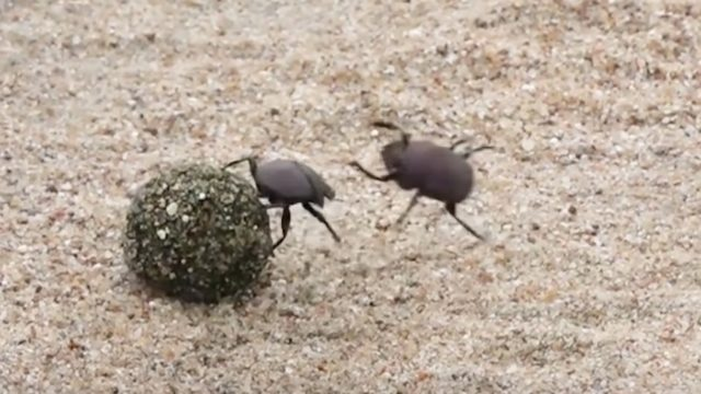 Dung Beetle Battle