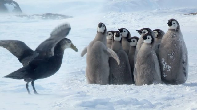 Emperor penguin chicks defend against a giant petrel