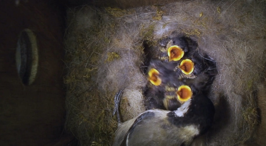 tit nest with hatchlings