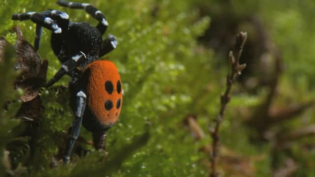 In search of the elusive ladybird spider