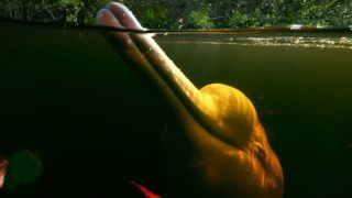 Pink River Dolphins of the Amazon Rainforest