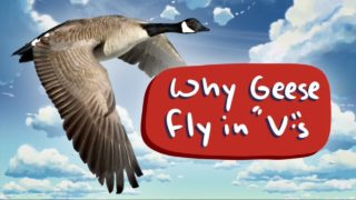 Why do geese fly in V formation?