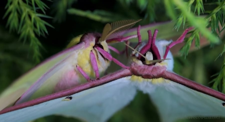 chinese luna moth