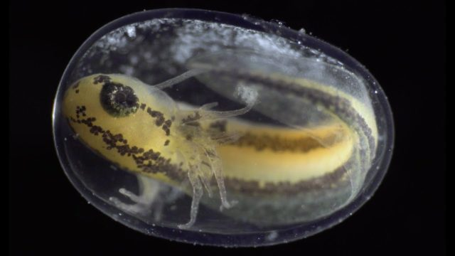 From zygote to hatched larva, a cell division time lapse