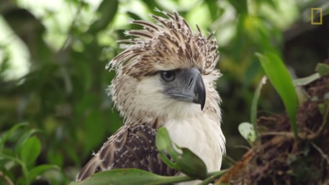 An endangered Philippine Eagle chick grows up