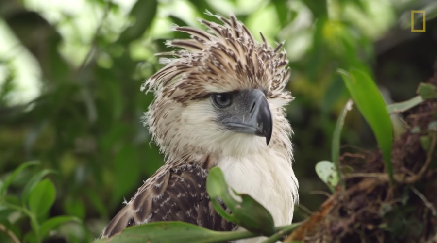 philippine-eagle-young