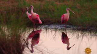 Roseate spoonbills in Florida's St. Johns National Wildlife Refuge