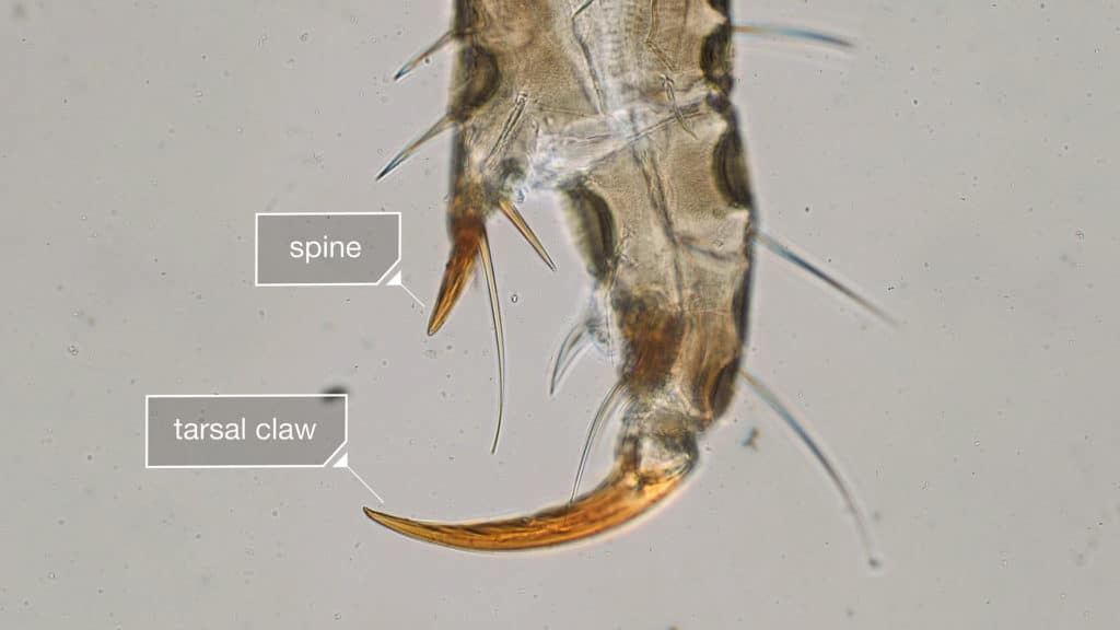 head lice claws