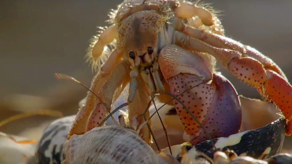 hermit crabs exchange shells