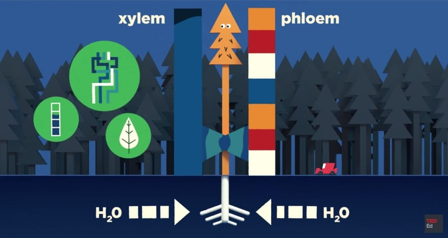 xylem phloem trees