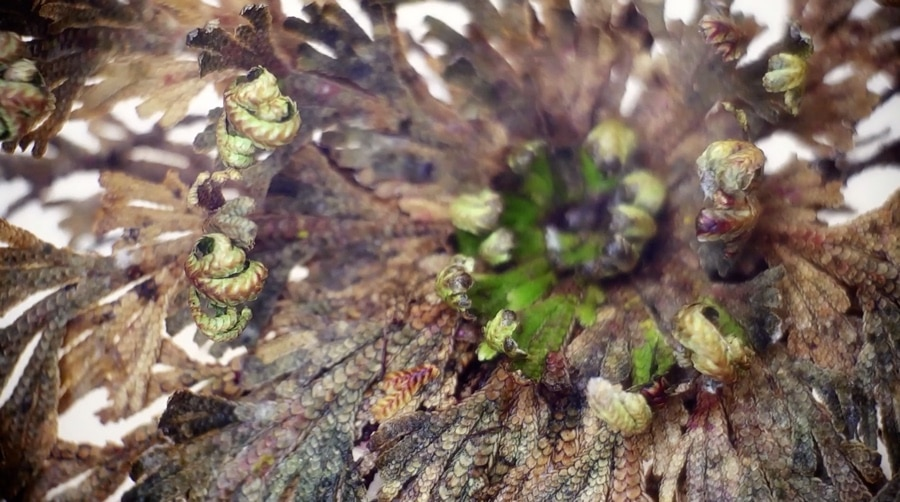 rose of jericho Selaginella lepidophylla resurrection