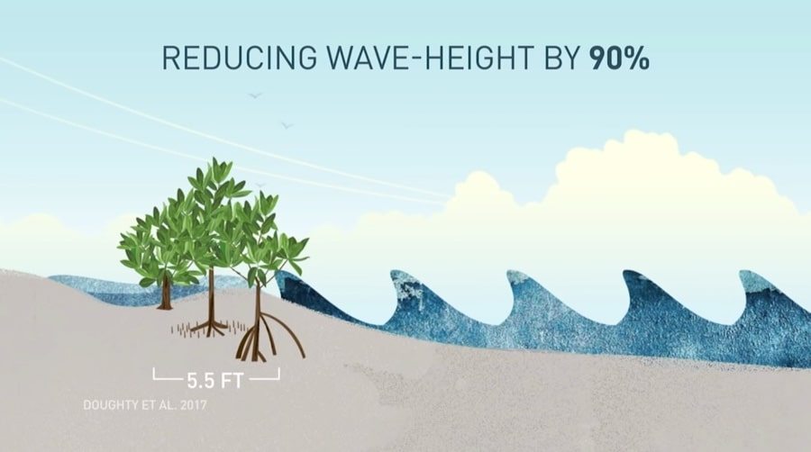 mangrove wave height reduction