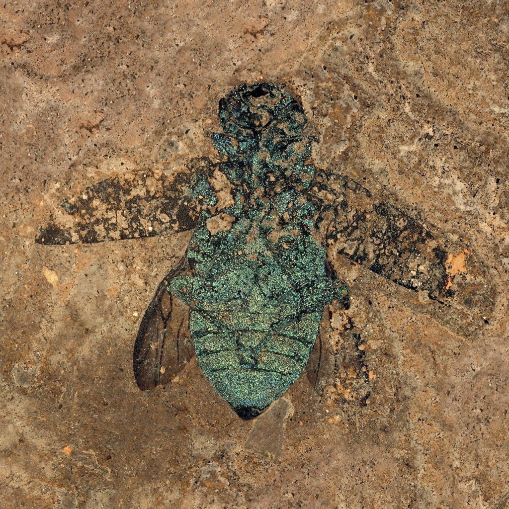 CC by SA - Fossil jewel beetle, still showing the (structural) color of the exoskeleton