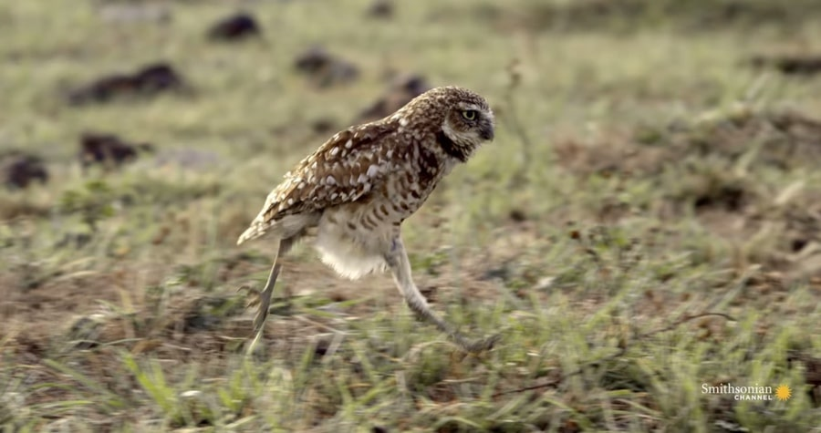 burrowing owl running