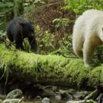 ghost bear mother with cubs