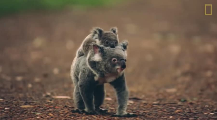 koala parent and baby walking