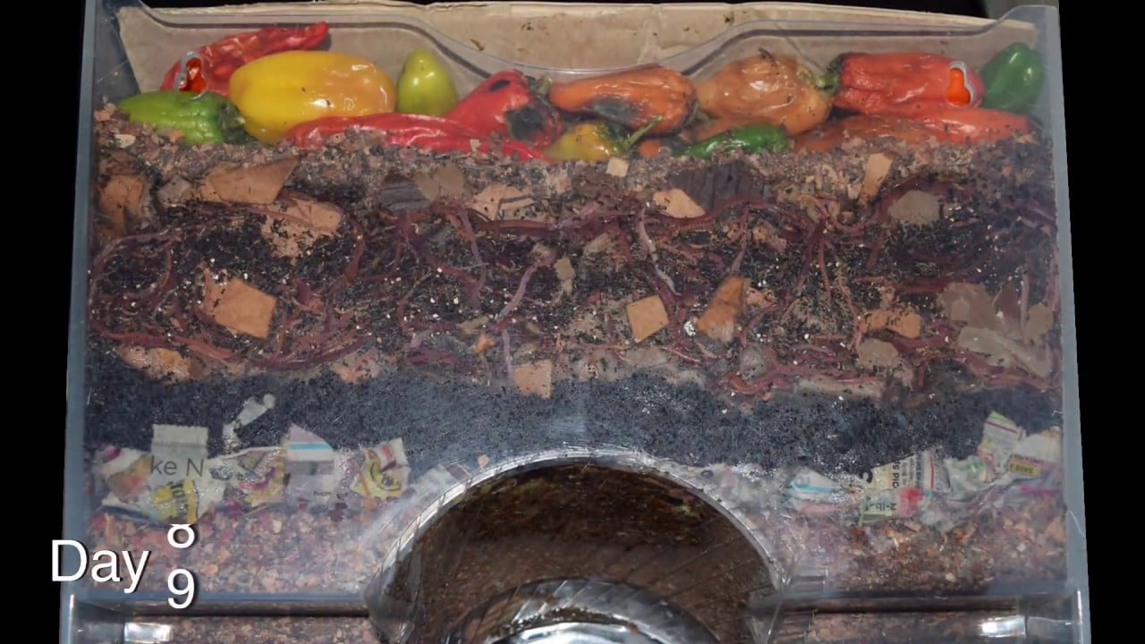 Vermicomposting with red wigglers, a time lapse