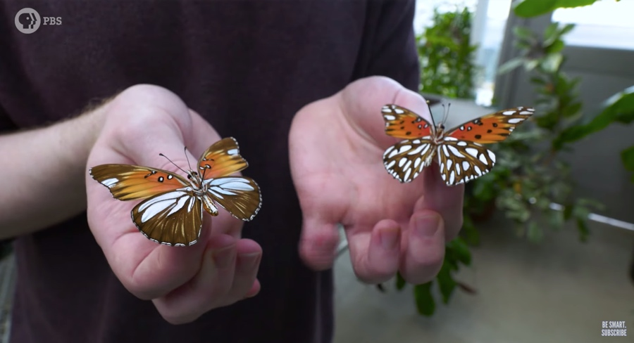 gulf fritillary wings