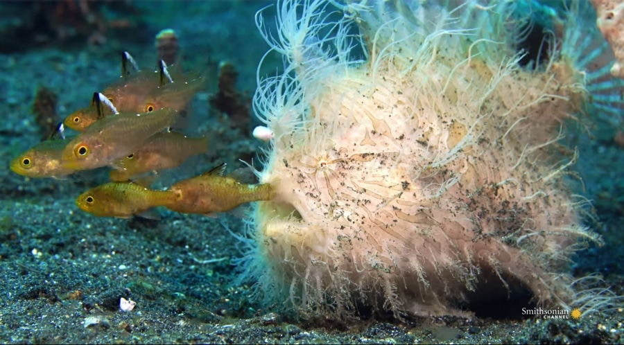 hairy frogfish with prey