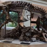 completed wankel t rex display