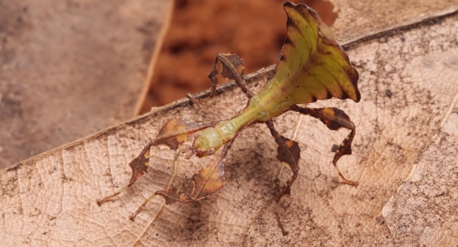 young brown leaf insect