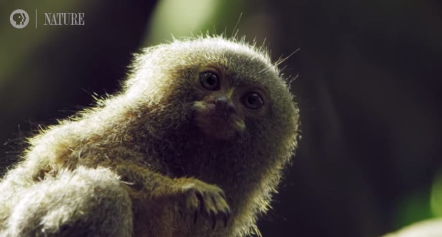 pygmy marmoset in the rainforest