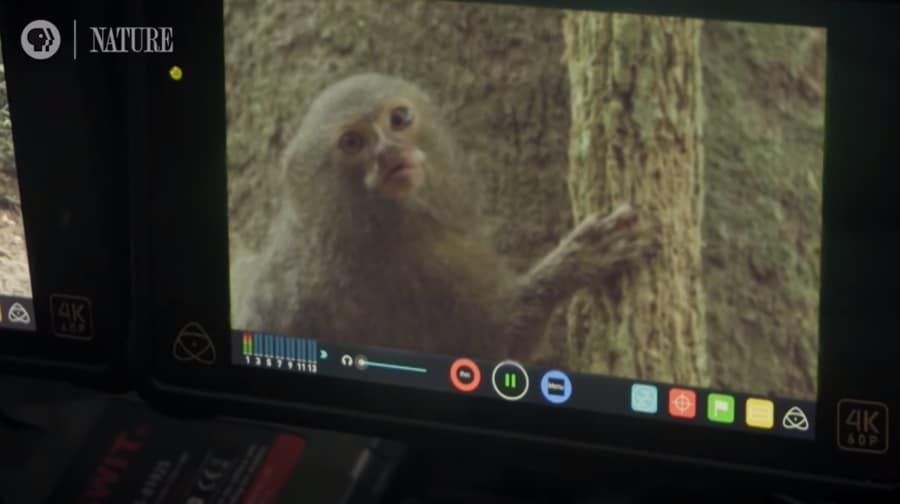 pygmy marmoset on camera