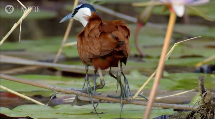 jacana father carrying babies