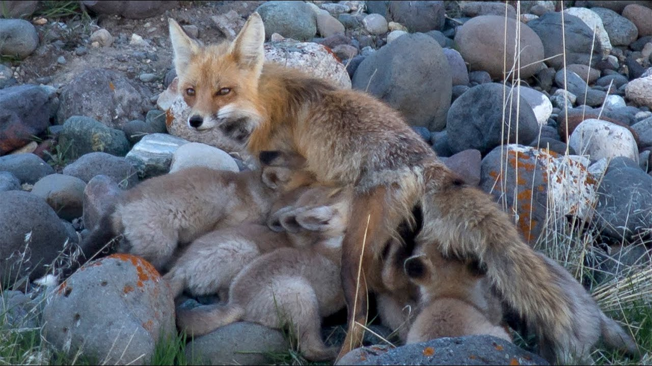 A red fox mom cares for 13 babies