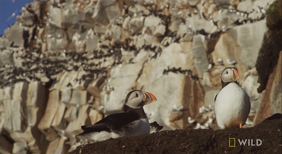 puffins on the cliffs