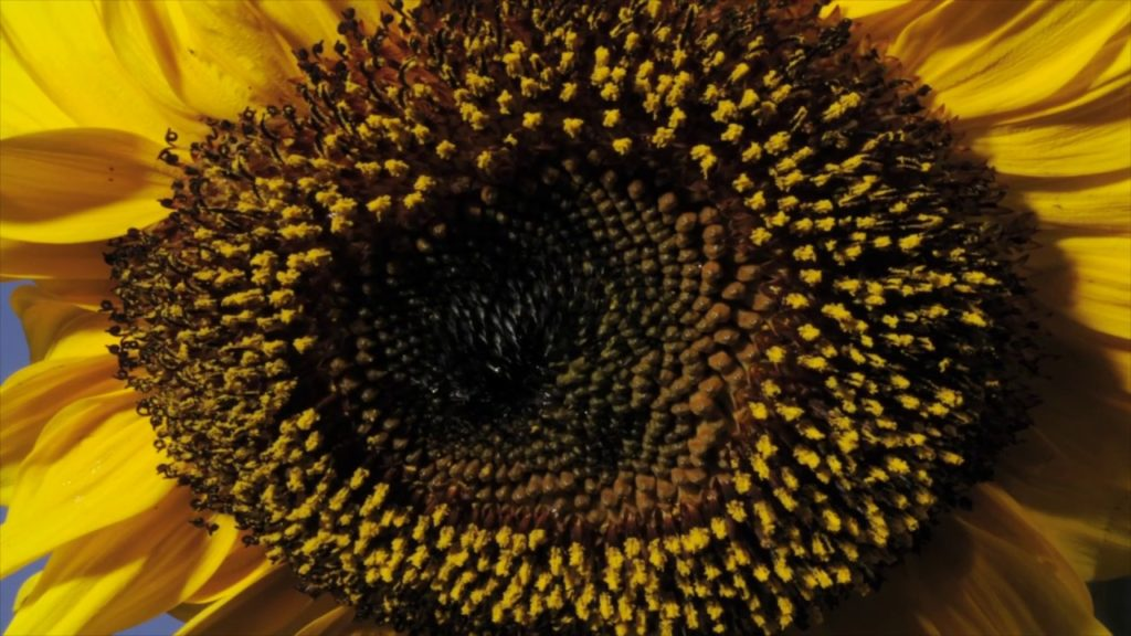 sunflower time-lapse