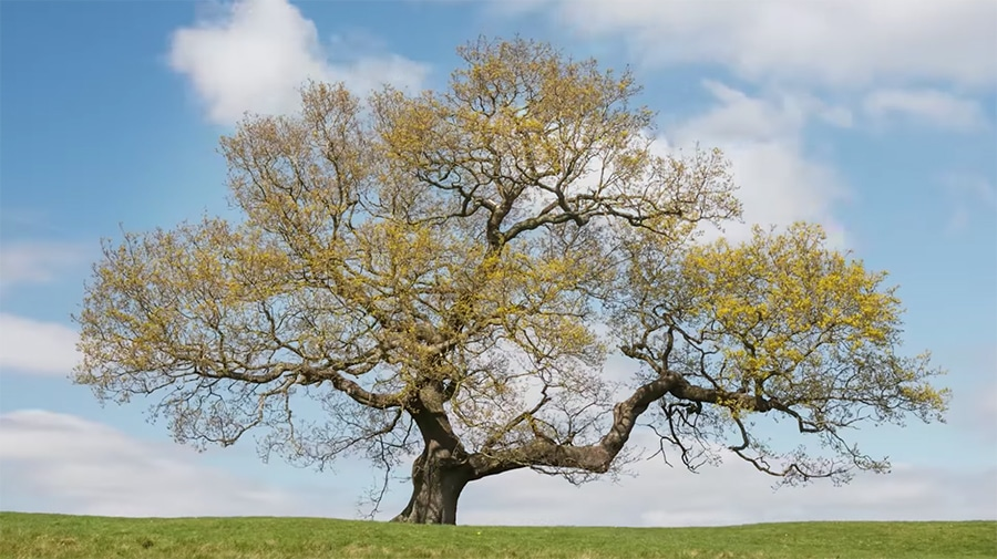 oak tree time lapse - woodland trust