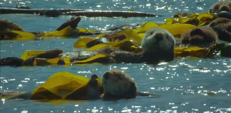 sea otters wrapped in kelp