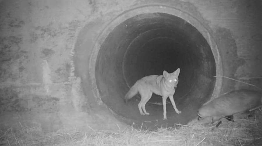 coyote and badger in a culvert
