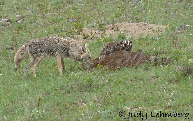 badgers and coyotes
