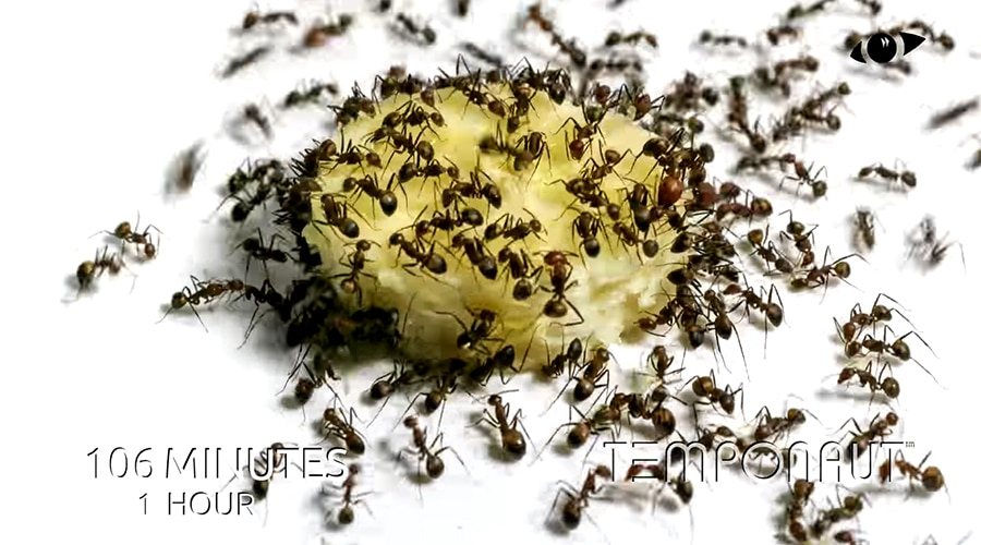 ant swarm eating a banana