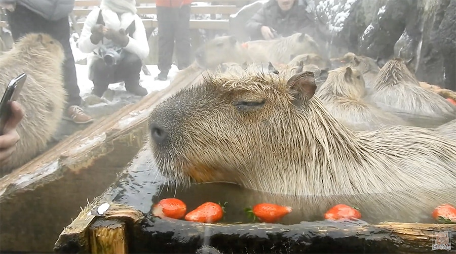 resting capybara in a strawberry bath