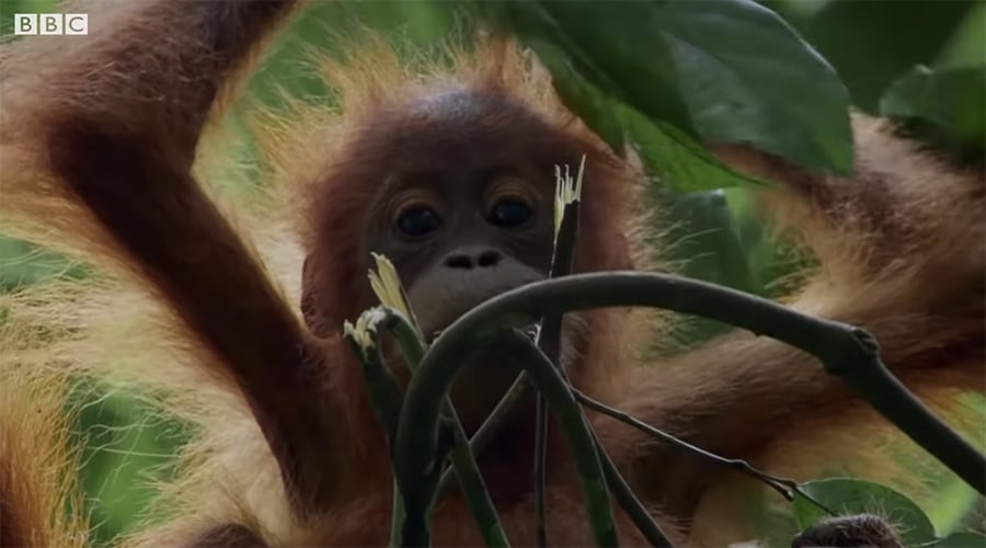 orangutan daughter in the rainforest