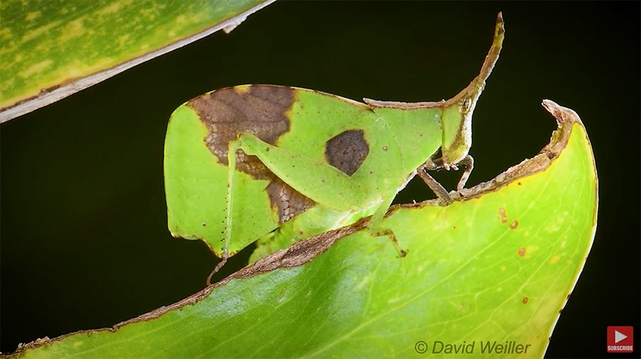leaf mimic grasshopper