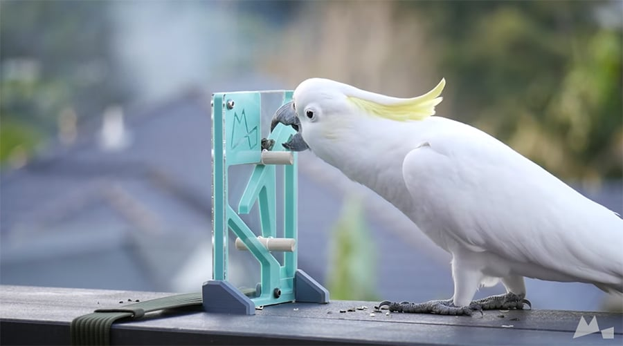 cockatoo trying to solve puzzle