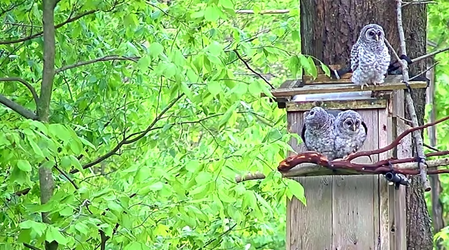 barred owl nesting box