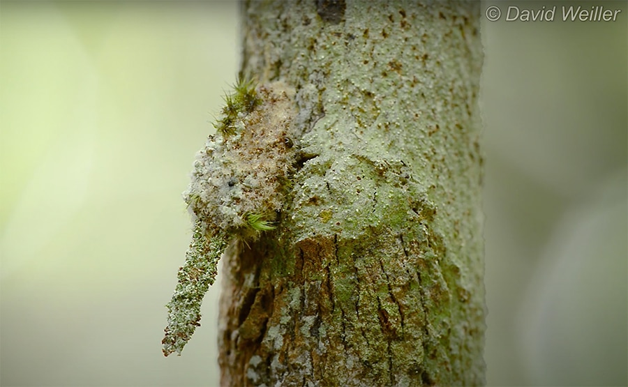 camouflaged moth larva