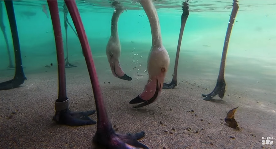 filter-feeding flamingos