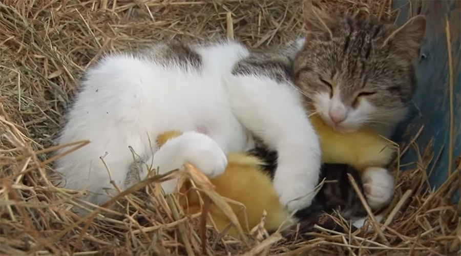 cat cuddles kittens and ducklings