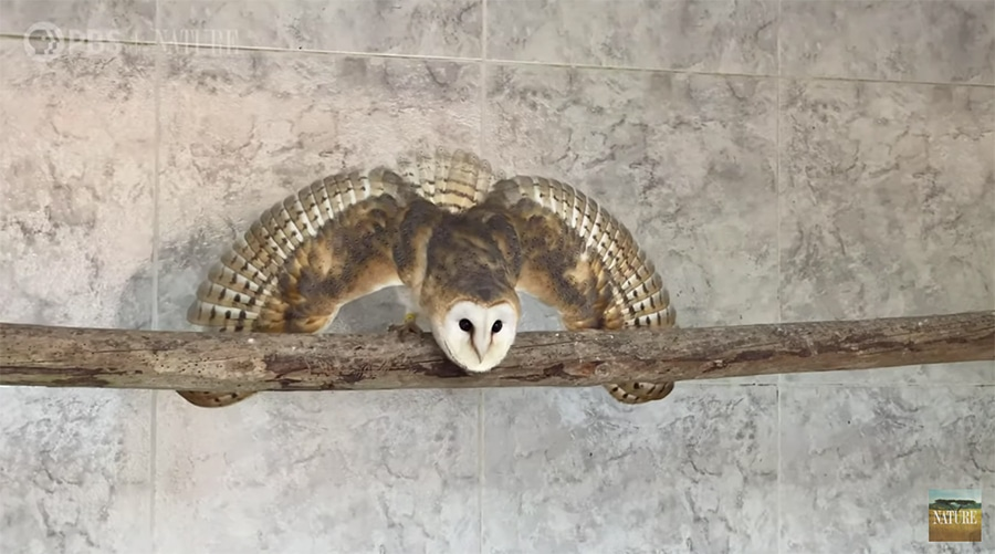 growing barn owl