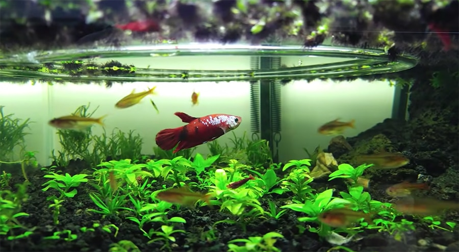 betta in with the tetras and shrimp